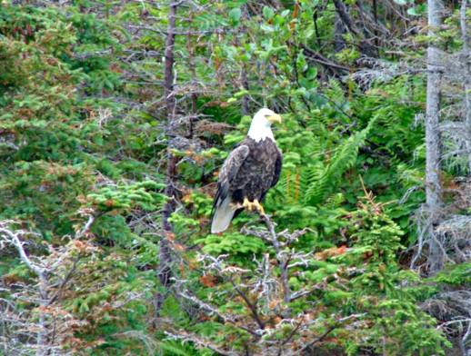 The beautiful bald eagle captured on camera in Gros Morne National Park, Newfoundland.