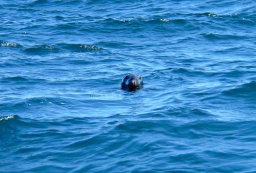 A curious seal following the boat in Prince Edward Island.
