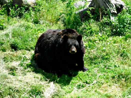 Black Bear (unfortunately this one was in captivity at Chippewa Park). But I have seen them wild at Cape Breton, Nova Scotia.