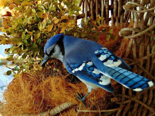 The Blue Jay, provincial bird of Prince Edward Island.