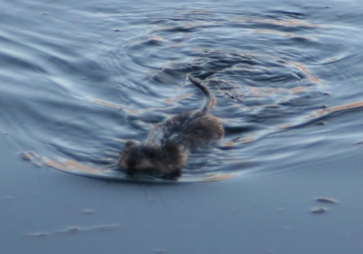 Muskrat swimming in a pond in P.E.I.