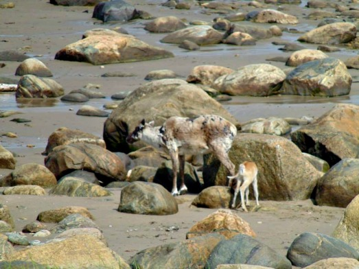 Caribou blending with the boulders on the beach in Newfoundland.