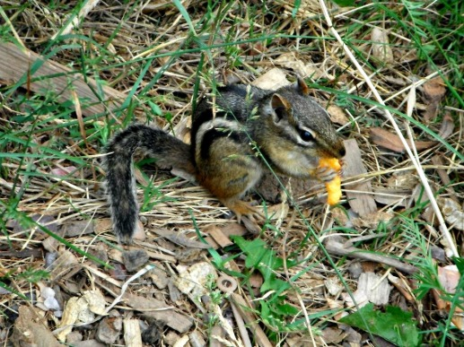 Eastern Chipmunk in Thunder Bay, eating chips.