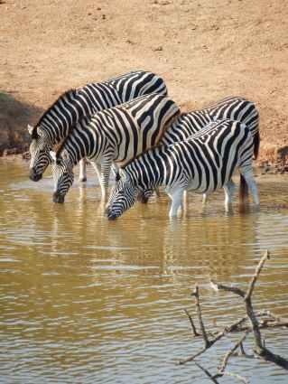animals drinking mammal nature